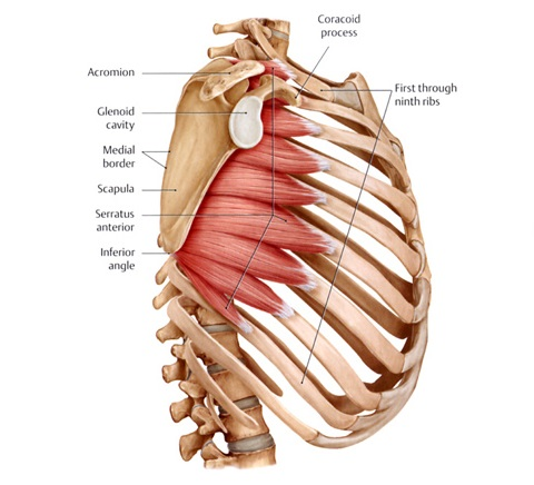 Serratus Anterior Origin And Insertion